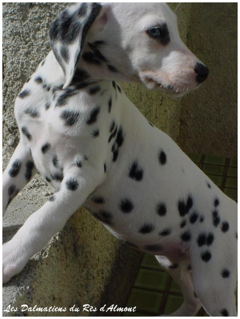 chien dalmatien a vendre