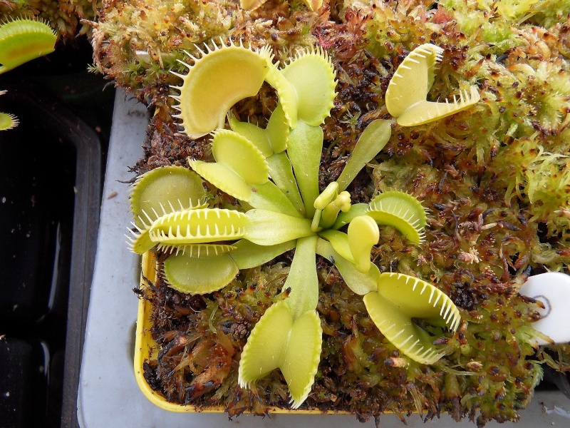 "Dionaea ""013 Carnivoria"" Photos"