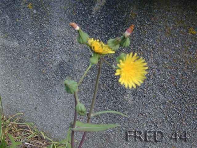 Liste de nourriture tortues terrestres - Mauvaise herbe fleur jaune ...