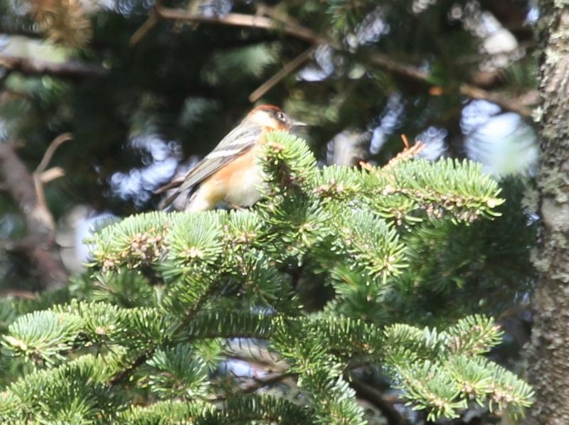 Aide pour petit oiseau avec du jaune for Petit oiseau avec houpette