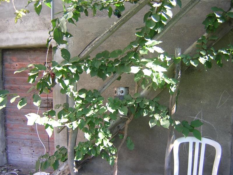 planter un kiwitier
