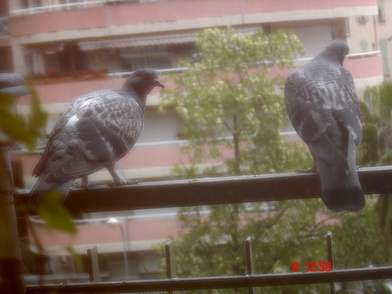 pigeons sur le balcon page 5. Black Bedroom Furniture Sets. Home Design Ideas
