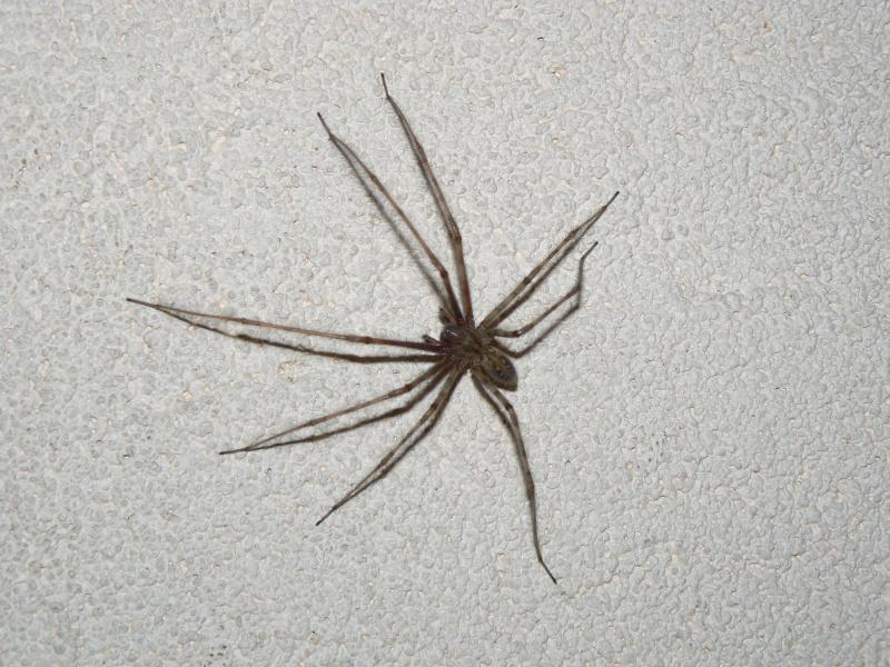 Identification d 39 une araign e for Araigne sauteuse maison