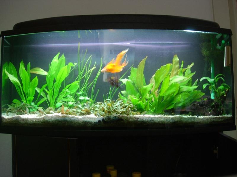 question voile de chine aquariums et vivariums forum animaux