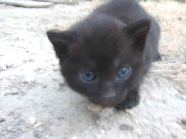 mon chaton essaye de teter Bonjour à toutes, mon petit chaton  il avait le cas d'un chat de 3 ans que sa maitresse avait laisse teter l'oreille et qui maintenant n'arrivait pas a lui.