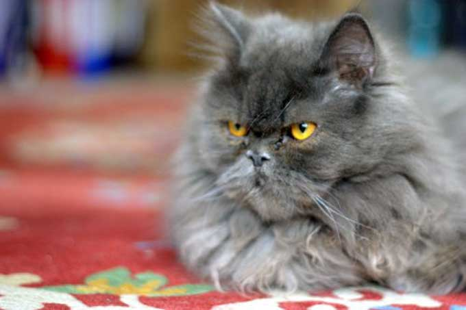 le chat persan. Black Bedroom Furniture Sets. Home Design Ideas