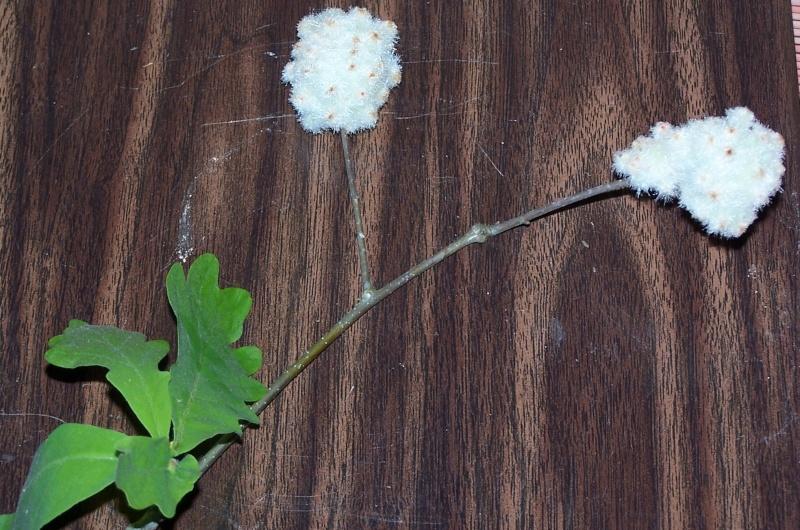 stem girdler damage in soybean