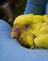 Les parasites acariose gale poux vers for Maladie poules perte plumes