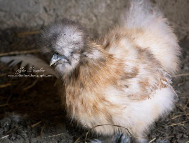 poule soie hermine