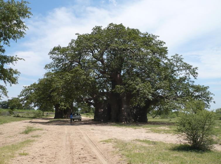baobab10.jpg