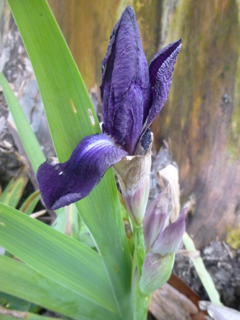 Iris floraison 2014 page 12 - Iris ne fleurissent pas ...