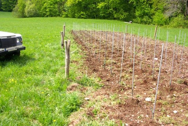 Plantation vigne - Planter un pied de vigne ...