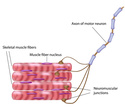 منتدى دكتور خالد أبو الفضل لفلاشات Nerve and Muscle Physiology