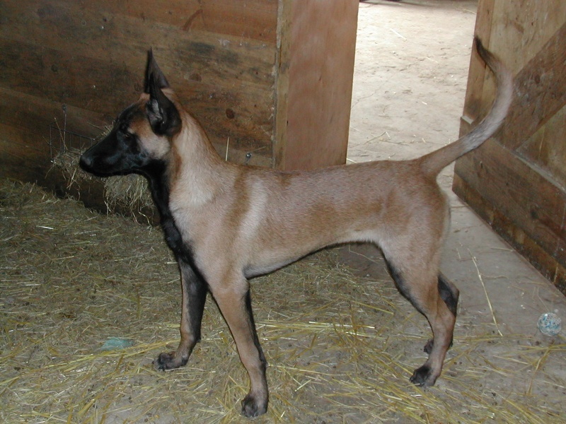 Poids chiot malinois - Page 2