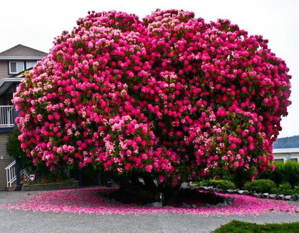 Passion botanique - Rododendro arbol ...