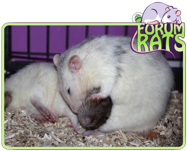 FORUM RATS