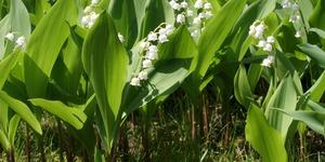 Le muguet en fleur dans POESIES, TEXTES 1er-ma10