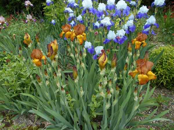 Jardin d 39 iris en 2015 page 6 for Aubade jardin d iris