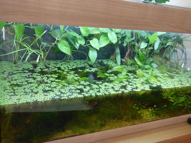 plantation de papyrus en aqua ouvert. Black Bedroom Furniture Sets. Home Design Ideas