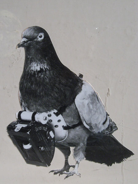 Les pigeons au combat - Pigeon de combat ...