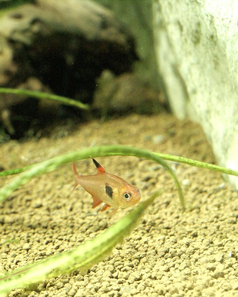 Photos gratuites de poissons t tra fant me rouge for Poisson tetra rouge