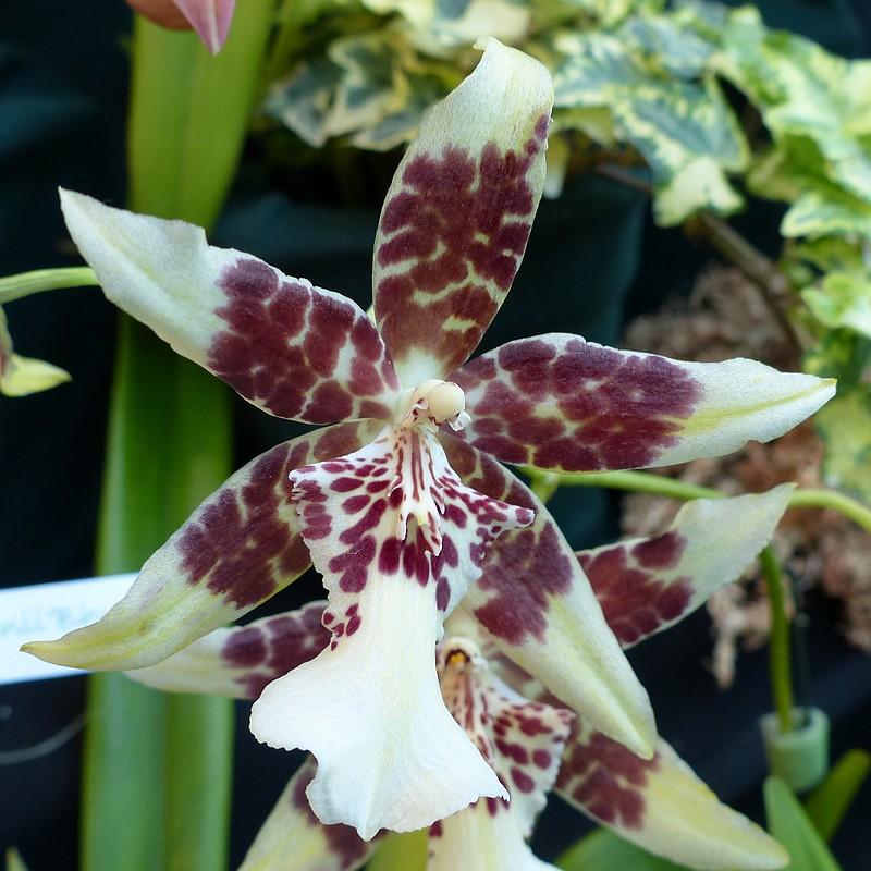 orchidee hybride