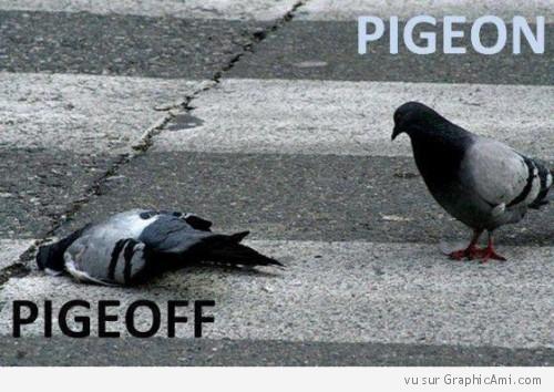 pigeon10.jpg