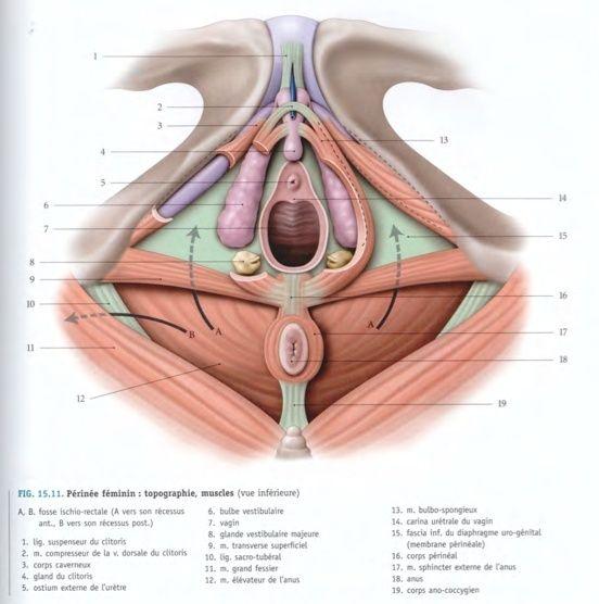 bulbe vestibulaire corps spongieux