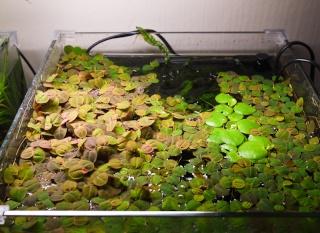 La phyllanthus fluitans for Aquarium ouvert