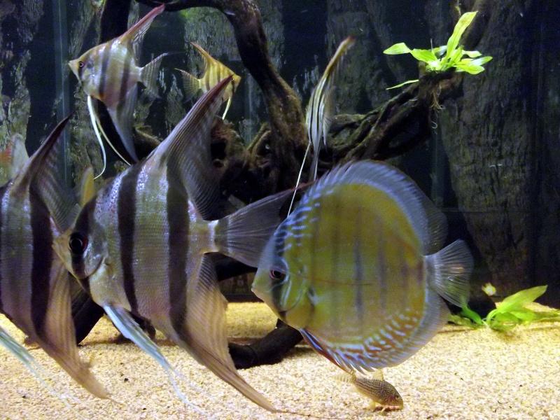 Pterophyllum altum un tr s grand poisson for Grand bac a poisson
