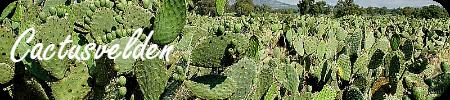 Cactusvelden