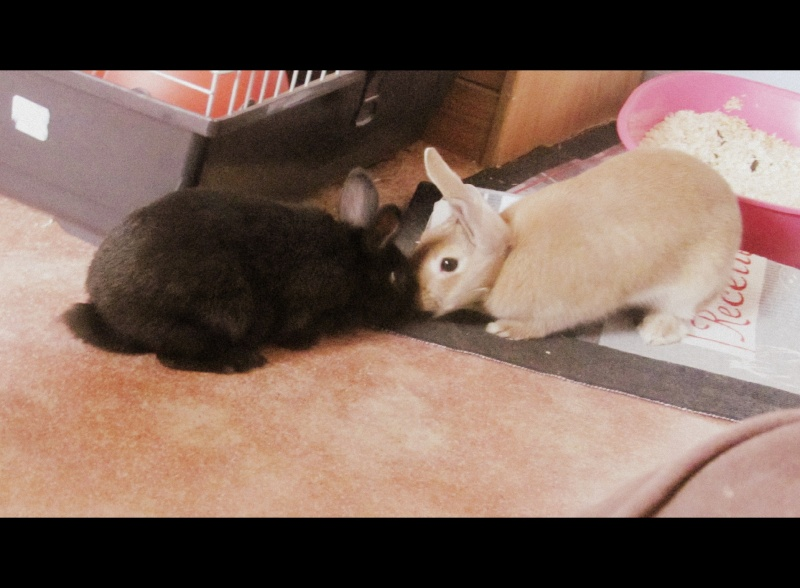 Comportement apr s la st rilisation de ma belle - Combien de temps porte une lapine ...
