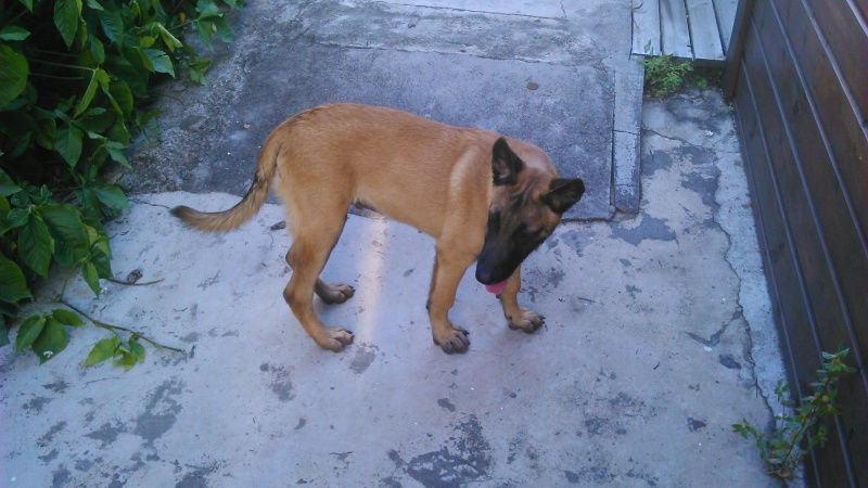 Poids chiot malinois