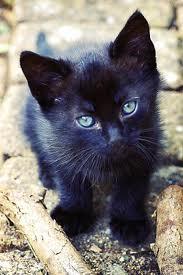 Description de votre chatc\u0027est possible de mettre des yeux bleus au chat  noir